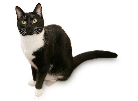 what you must know about the tuxedo cat and its coat patterns