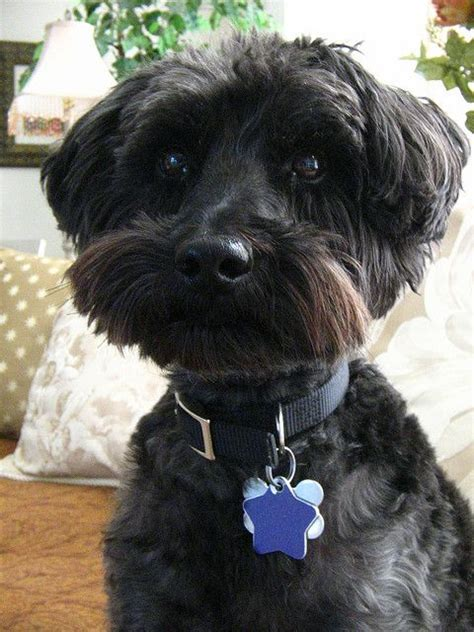 schnoodle style grooming cuts poodles we and poodle mix on pinterest