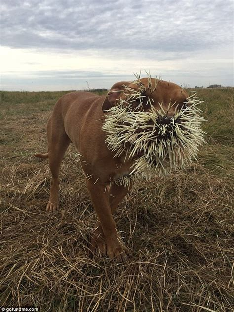 attacked by porcupine mahalo almost killed after being attacked by a porcupine in canada daily mail