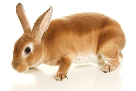 rex rabbit colors curiously facts about the rex rabbit breed