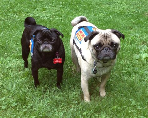 pugs as therapy dogs therapy pugs sailor talent hounds