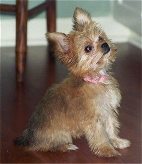 cuts for a chorkie ellie the chorkie puppy at 5 months old yorkie dad and a