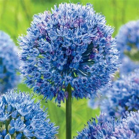 azure allium lovely landscaping pinterest