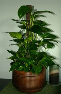 Low Light Indoor Trees by Gallery For Gt Indoor Tropical Plants Low Light