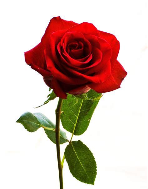 wallpaper bunga rose pink setangkai bunga mawar pink clipart best
