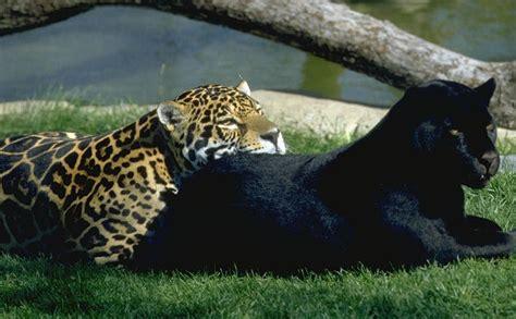 imagenes del jaguar mexicano el jaguar panthera onca mascotas taringa