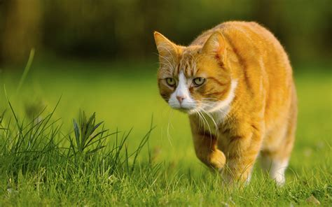 wallpaper of cat prowling cat wallpapers and images wallpapers pictures