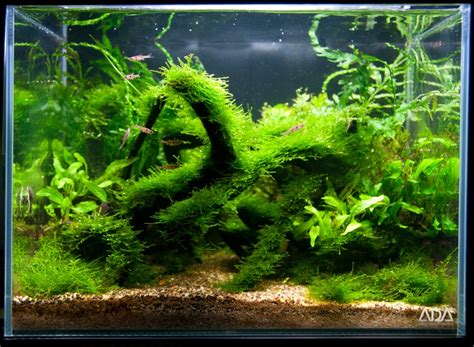 aquascape competition java moss aquascape 28 images 2012 aga aquascaping contest 390 does anyone pics
