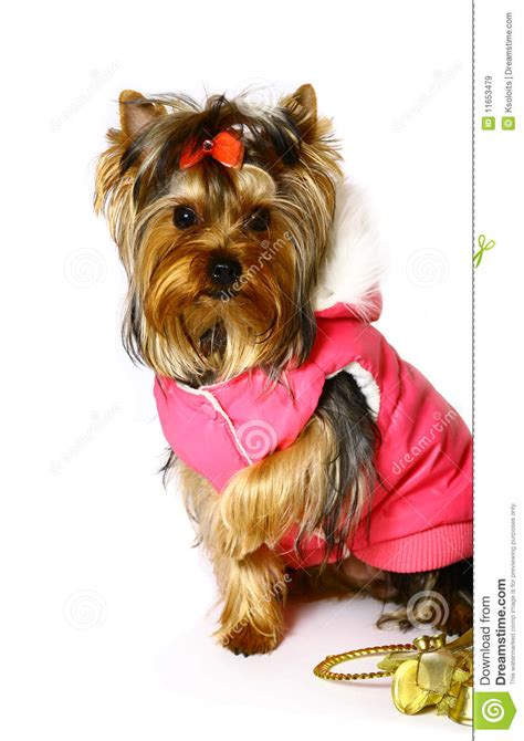 yorkie terrier clothes terrier in the pink clothes royalty free stock images image 11653479
