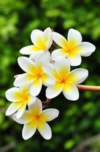 flower images frangipani