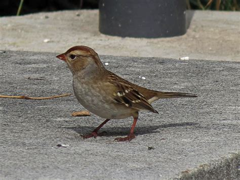 sparrow photos of birds by common name by sid hamm