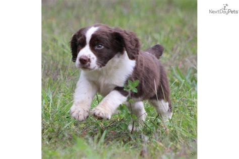 springer spaniel puppies for sale in michigan ty springer spaniel puppy for sale near grand rapids michigan a552fbc9 9c11