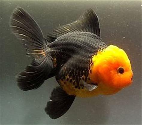 Oranda Rw Black Ranchu all about goldfish archives mr ranchu goldfish care