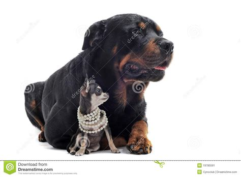 rottweiler chihuahua puppies rottweiler and puppy chihuahua stock image image 19785591