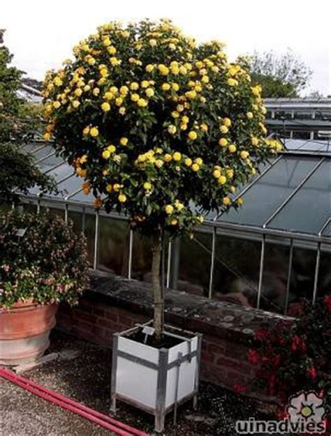 exotische potplanten met bloem lantana camara kuipplant overwinteren snoeien