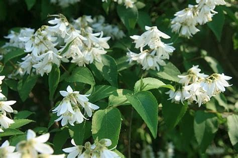 white flower shrub white flowering shrub
