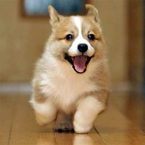 Friday Kawaii Corgi Acting 25 best ideas about corgi pups on small dogs