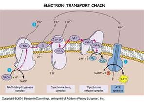 Proton Gradient Medicine Newbie Electron Transport Chain Etc