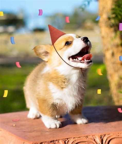 Corgi Birthday Meme - 1000 images about corgi birthdays on pinterest parties