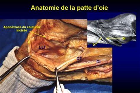 anatomie de la patte doie