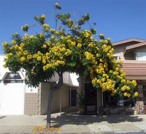 yellow bells tree nldesignsbythesea