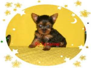 teacup yorkies for sale in st louis mo terrier puppies in missouri