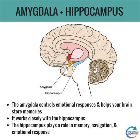 Brain Stress - amygdala hippocus stress and the brain positive routines