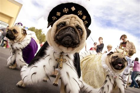 pug owners 15 things every pug owner should buy