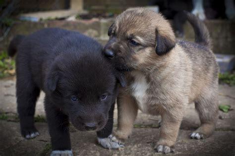 labrador husky puppies beautiful husky labrador collie cross puppies brighton east sussex pets4homes