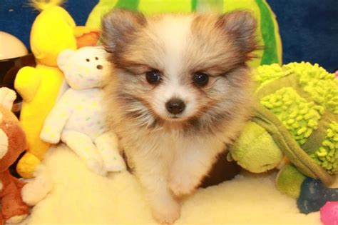 teacup pomeranian how big do they get 15 best images about need a laugh on land before time mondays and walks