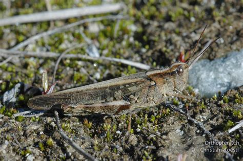Typisch Synonym by Orthoptera Ch Epacromius Tergestinus