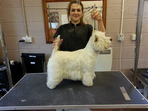 styles of clips for west highland terriers runcorn s vanity fur dog grooming featured in total