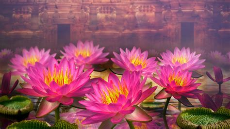 wallpaper 3d lotus pink lotus flowers wallpapers pink lotus flowers stock