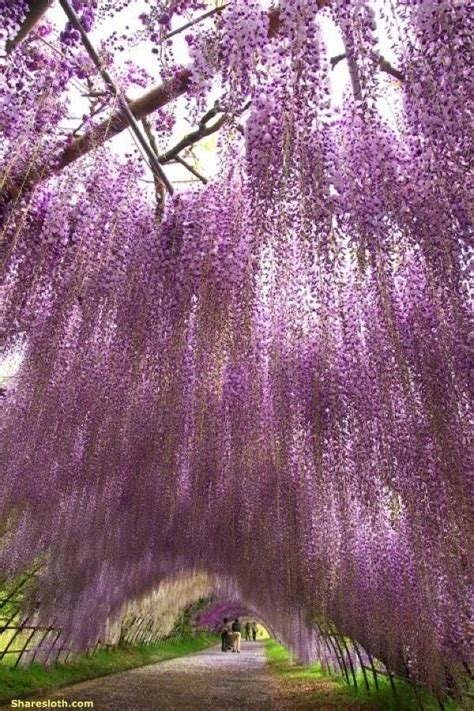 japan wisteria tunnel wisteria flower tunnel japan sharesloth