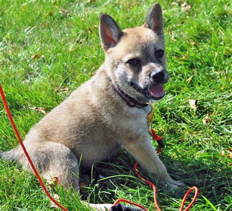 german shepherd akita mix puppies akita pomeranian mix memes