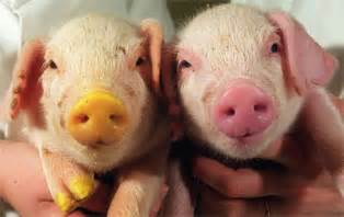 green fluorescent protein cool uses cloned pigs