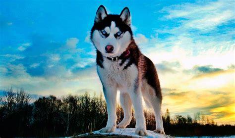imagenes de animales lobos image gallery lobos