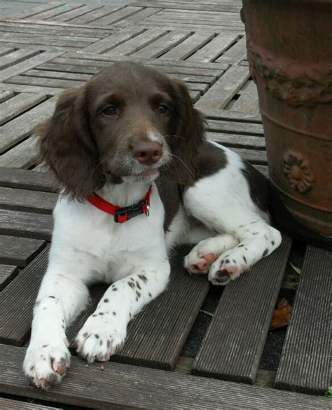 Do Springer Spaniels Shed by 25 Best Ideas About Spaniel On