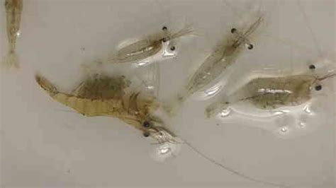 Feeder Ghost Shrimp For Sale 250 live feeder saltwater grass ghost glass shrimp palaemonetes species new and used