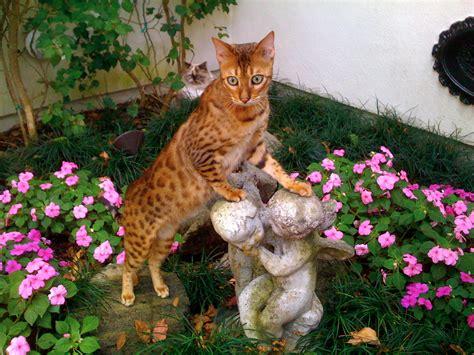 Bengal cat   Wikipedia
