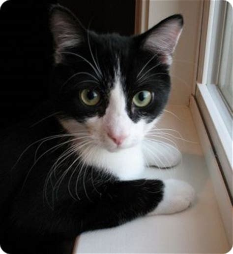 imagenes blanco y negro de gatos fotos de gatos blanco y negro gatos dom 233 sticos