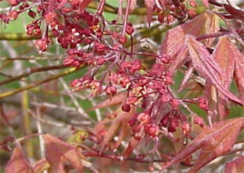 problems with maple trees japanese maple