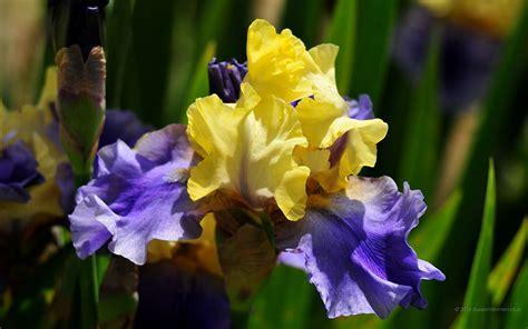 iris fiori 1680 x 1050 iris sfondi fiori immagini di sfondo 1680x1050
