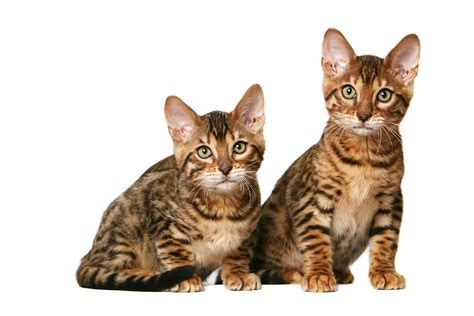 imagenes the cat the toyger wallpapers fun animals wiki videos pictures