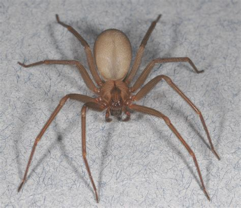 brown recluse image brown recluse pest management tips for the spider that s