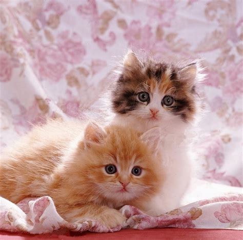 Cutest Cats Pet Pet Pet Product 8 by Cool Cat Wallpaper Android Apps On Play