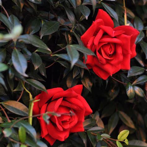 rosa rossa fiore rosa rossa larghezza fiore 14 cm