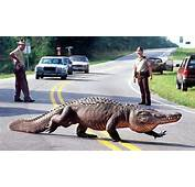 How Many Alligators In NC  Coastal Review Online