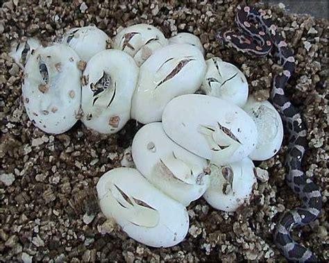 Garden Snake Laying Eggs File Corn Snake Eggs Jpg