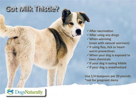 milk thistle for dogs pin by hailey on just for pets